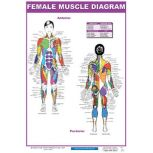 Muscle Diagram Posters